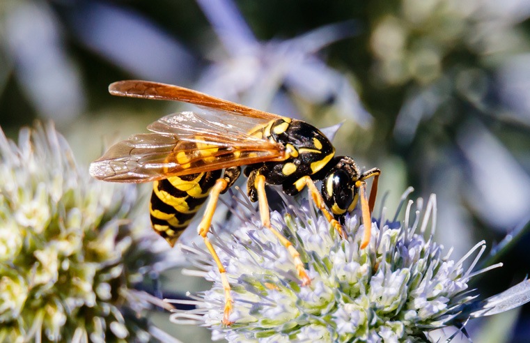 BPCA release guide to deal with drunken, sugar-seeking wasps