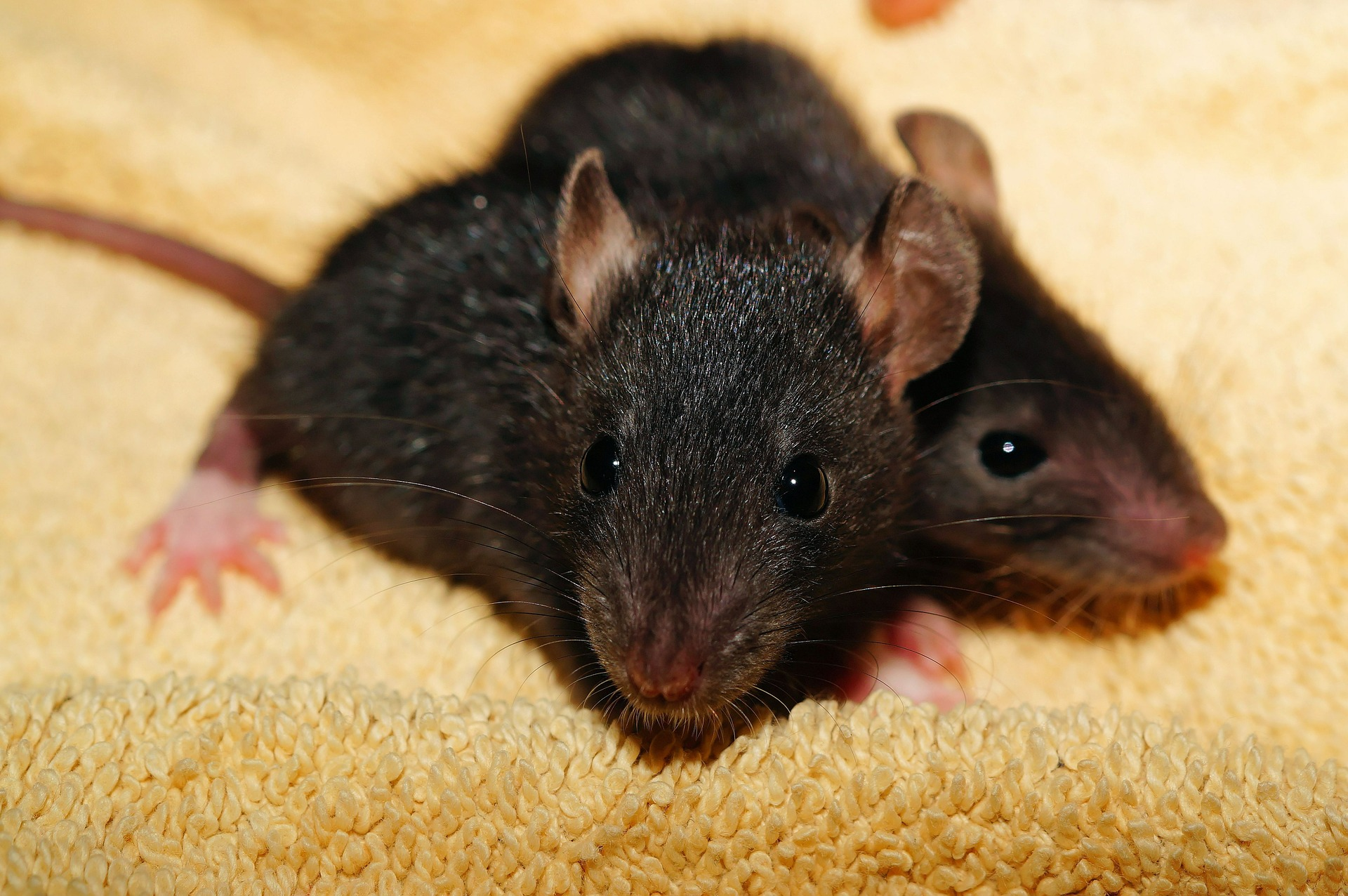 Rats shut Tokyo convenience store